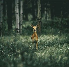 deer-staring-from-forest